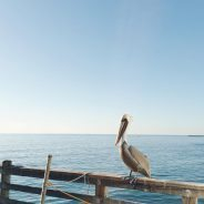 Wowza! This is a reallife brown Pelican! The way thehellip